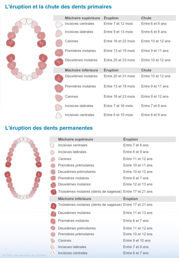 eruption-et-chute-des-dents-ODQ-orthodontie